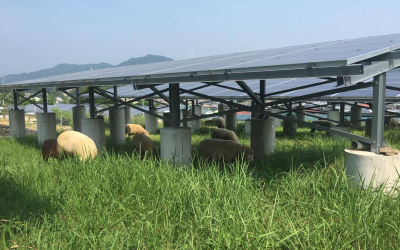 太陽光発電所を羊が除草してくれています