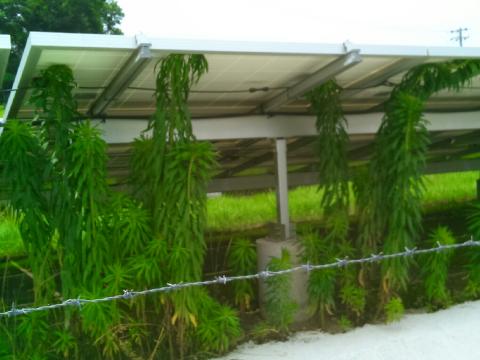 太陽光発電所の雑草